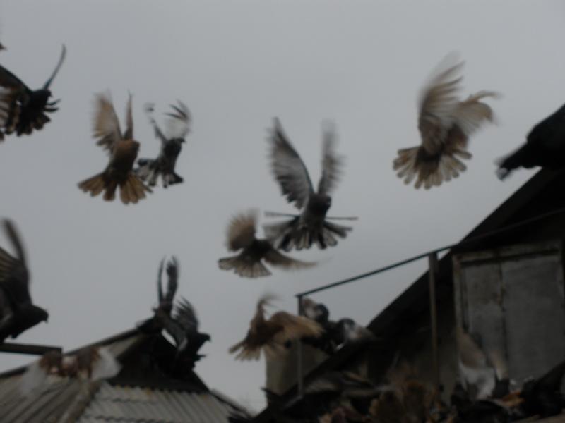 Фото голубей голубевода Николая Лопатина: http://n-lopatin.narod.ru/Foto_Golubey_N_Lopatina_Donetsk_PC081107.html